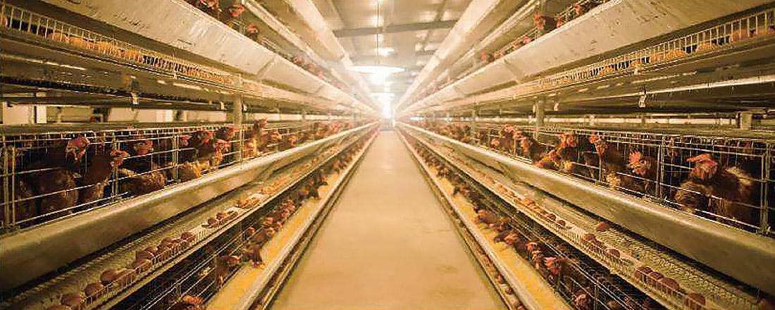 精讯畅通智慧养鸡解决方案